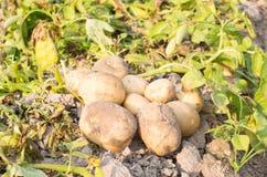 Patata en campo Foto de archivo libre de regalías