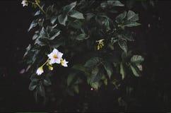 Patata floreciente en un fondo Fotografía de archivo