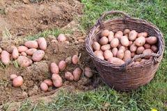 Patata fresca Fotos de archivo