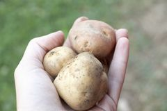 Patata orgánica Fotografía de archivo libre de regalías