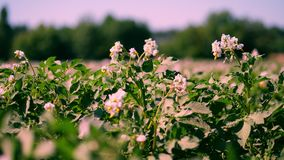 Patata que crece en plantaciones Las filas de los arbustos verdes, de florecimientos de la patata crecen en campo de granja blanc almacen de video
