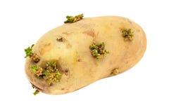 Patata que germina Imagenes de archivo