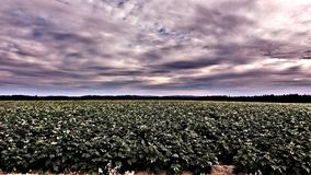 patatas Imagenes de archivo