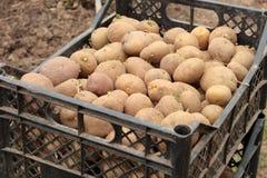 Patatas brotadas en la cesta Fotos de archivo