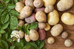 Patatas con las hojas verdes frescas en la madera Fotografía de archivo libre de regalías