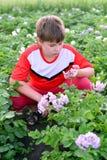 Patatas crecientes del adolescente del muchacho en jardín Fotografía de archivo libre de regalías