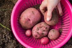 Patatas de cosecha propia Imagen de archivo libre de regalías