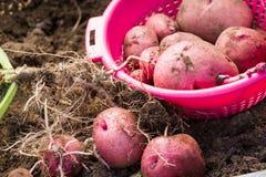 Patatas de cosecha propia Imágenes de archivo libres de regalías