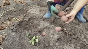Patatas de excavaci?n con una pala almacen de metraje de vídeo