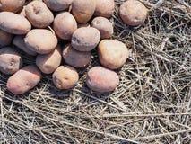 Patatas de sembrador de la primavera en hierba seca Copos de ma?z fotos de archivo