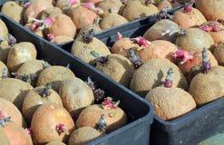 Patatas de semilla. Imagen de archivo libre de regalías