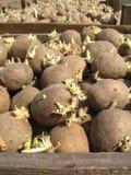 Patatas de siembra Imagen de archivo libre de regalías