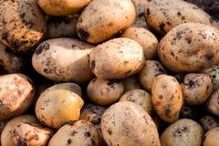 Patatas del oro de Yukon Fotos de archivo libres de regalías