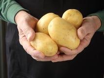Patatas del oro de Yukon en manos Imagen de archivo libre de regalías