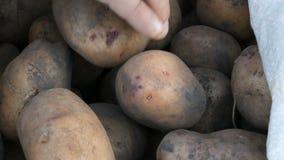 Patatas del tacto de las manos del ` s de los hombres Patatas grandes en bolso Cierre enorme de la cosecha de la patata encima de metrajes