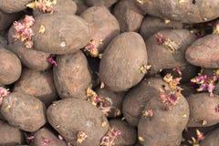 Patatas en el fondo blanco Fotos de archivo