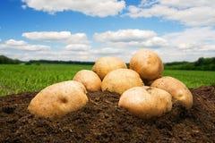 Patatas en la tierra debajo del cielo Imágenes de archivo libres de regalías