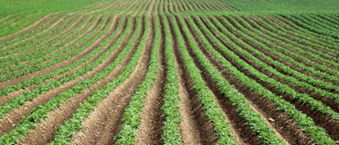 Patatas en un campo Foto de archivo