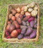 Patatas en una cesta en la hierba verde Fotografía de archivo