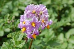 Patatas florecientes Imágenes de archivo libres de regalías