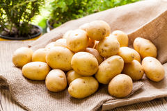 Patatas frescas de la granja en un saco de la arpillera Fotos de archivo libres de regalías