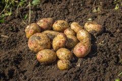 Patatas frescas en la tierra Foto de archivo libre de regalías