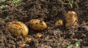 Patatas frescas en la tierra Fotos de archivo