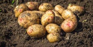 Patatas frescas en la tierra Imagenes de archivo