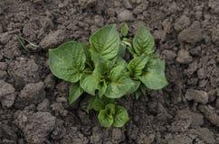 Patatas jovenes crecientes en el jardín Imágenes de archivo libres de regalías