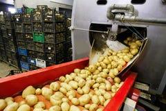 Patatas limpiadas en la banda transportadora Fotos de archivo