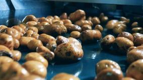 Patatas limpiadas que caen en un transportador de la fábrica en una instalación de la comida metrajes