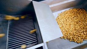 Patatas limpias que caen en un envase del metal de un transportador en una fábrica almacen de video