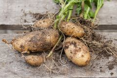 Patatas nuevamente cosechadas del jardín orgánico Fotografía de archivo