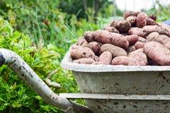 Patatas orgánicas frescas Imagen de archivo libre de regalías
