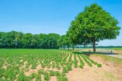 Patatas que crecen en un campo en primavera Fotografía de archivo libre de regalías