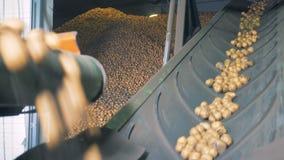 Patatas que se levantan en un transportador en un almacén, cierre almacen de video