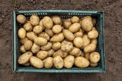 Patatas recién cosechadas Imágenes de archivo libres de regalías