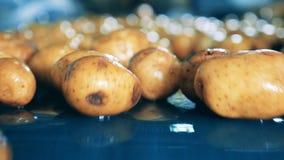 Patatas sin pelar clasificadas en una fábrica, movimiento en un transportador almacen de metraje de vídeo