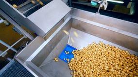Patatas sin pelar que caen en el envase del metal en una instalación de la comida metrajes