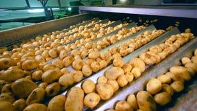 Patatas sin pelar que mueven encendido un transportador de la planta de comida mientras que clasifica metrajes