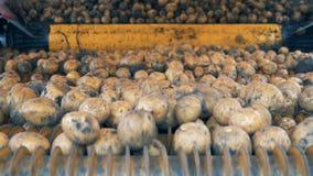Patatas sin pelar que se levantan en un transportador, cierre metrajes