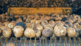 Patatas sin pelar que van en un transportador Trabajos del transportador del tractor, patatas móviles almacen de video