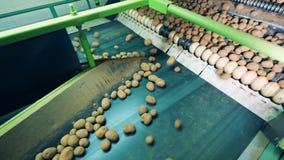 Patatas sucias que se mueven en transportador industrial para conseguir limpiado metrajes