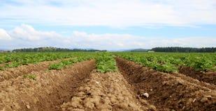 Patatas todavía verdes Foto de archivo
