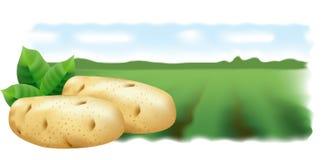 Patatas y campo de la patata. Panorama. Imagen de archivo libre de regalías