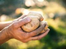 Patate coltivate nel suo giardino Verdure della tenuta dell'agricoltore in loro mani Alimento Immagini Stock