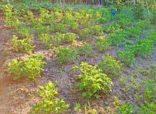 Patate crescenti nel giardino 2 Fotografie Stock Libere da Diritti