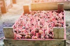 Patate da semi con i germogli dopo l'elaborazione dalla dorifora Preparazione per la piantatura delle patate lavoro stagionale ne fotografie stock