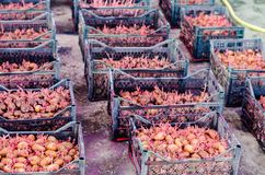 Patate da semi con i germogli dopo l'elaborazione dalla dorifora Preparazione per la piantatura delle patate lavoro stagionale ne fotografia stock