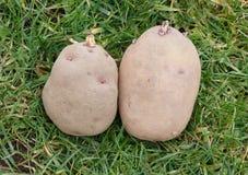 Patate da semi pronte ad essere piantato Fotografia Stock Libera da Diritti